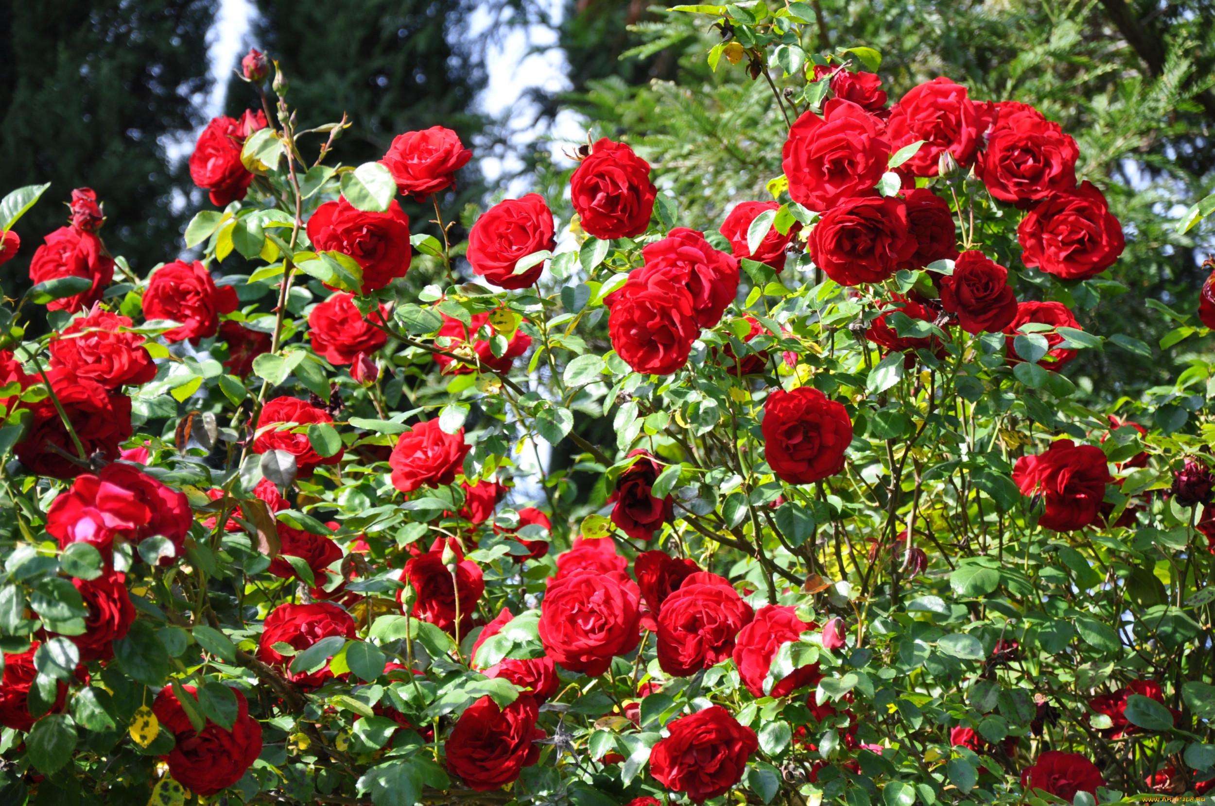 дизайн комбинацией розы сады красные картинки каких городах